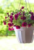 Petunia flower pot. In summer outdoors stock photo