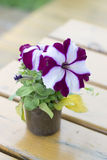 Petunia flower in a small plastic container on a wooden plank. Table Stock Photo