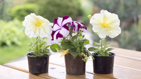 Petunia flower in a small plastic container on a wooden plank. Table Royalty Free Stock Photo