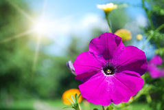 Petunia flower and sun Stock Image