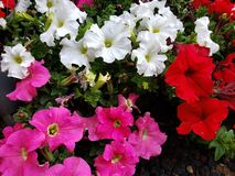 Petunia flower in various colors in a garden in spring season. White, colorful, petal, plant, nature, natural, gardening, decorative, decoration, ornament stock photography