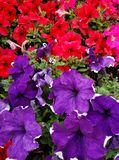 Petunia flower in various colors in a garden in spring season. White, colorful, petal, plant, nature, natural, gardening, decorative, decoration, ornament royalty free stock photography