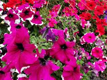 Petunia flower in various colors in a garden in spring season. White, colorful, petal, plant, nature, natural, gardening, decorative, decoration, ornament royalty free stock photo