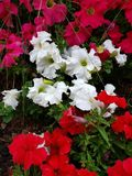 Petunia flower in various colors in a garden in spring season. Petunia, flower, white, garden, spring, season, color, colorful, petal, plant, nature, natural stock photo