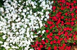 Petunia flower. White and red petunia flower Stock Image