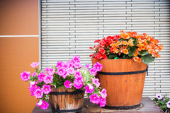 Petunia flower in wooden pot Stock Photo