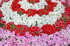 Petunia flowerbed Stock Photography