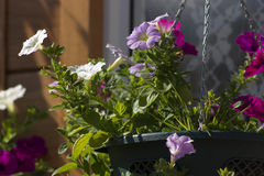 Petunia in flowerpot. Colorful petunia bloom in flowerpot on wall Stock Photo