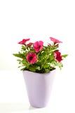 Petunia in flowerpot Stock Photography