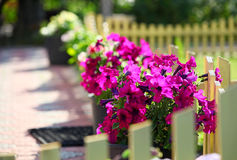 Petunia flowers Royalty Free Stock Photo