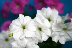 Petunia  flowers. White and pink Petunia flowers Stock Photography