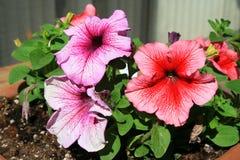 Petunia Flowers. Close up of the three vivid petunia flowers Stock Images