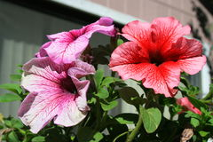 Petunia Flowers. Close up of the three vivid petunia flowers Royalty Free Stock Photography