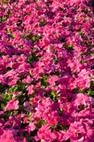 Petunia flowers background Stock Image