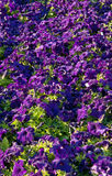 Petunia flowers background Stock Photography