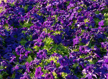 Petunia flowers background Royalty Free Stock Photo