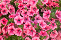 Petunia flowers background. Background of pink  petunia flowers Petunia hybrida. Natural background Royalty Free Stock Images
