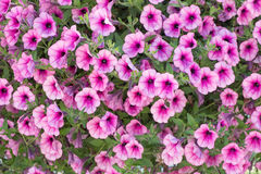 Petunia flowers background. Background of purple white  petunia flowers Petunia hybrida. Natural background Stock Images
