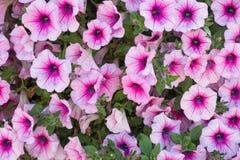 Petunia flowers background. Background of purple white  petunia flowers Petunia hybrida. Natural background Stock Image