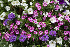 Petunia flowers. Stock Photography