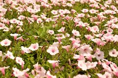 Petunia flowers Stock Image