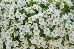 Petunia flowers background. Background of  white petunia flowers Petunia hybrida. Natural background Stock Images
