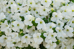 Petunia flowers background. Background of white petunia flowers Petunia hybrida. Natural background Royalty Free Stock Photography