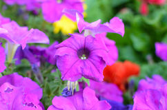 Petunia flowers Stock Image