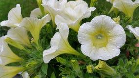 Petunia Flowers. Beautiful petunia flower in nature Stock Images