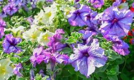 Petunia flowers Stock Images