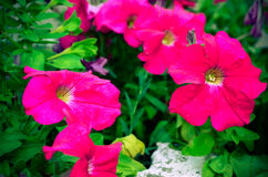 Petunia flowers bloom in the garden Royalty Free Stock Photography