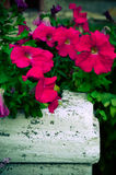 Petunia flowers bloom in the garden Royalty Free Stock Image