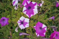 Petunia flowers bloom in the garden Royalty Free Stock Images