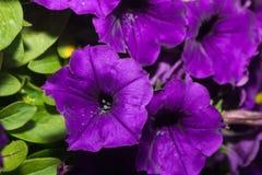 Petunia flowers Blooming Royalty Free Stock Photo