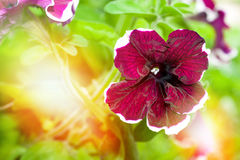 Petunia flowers on blurred sunny background, toning. floral background Stock Photos