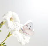 Petunia flowers with Checkered White butterfly Stock Photos