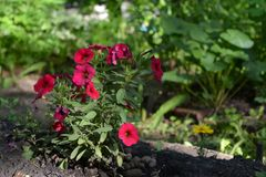 Petunia flowers in city yard. Guerrilla gardening.  Stock Photography