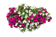 Petunia flowers with clipping path Royalty Free Stock Photo