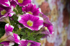 Petunia Flowers. Close up of colorful blooming petunia flowers, natural background Royalty Free Stock Photography