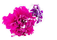 Petunia flowers close-up. Petunia flowers isolated on a white background Stock Photography