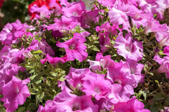 Petunia flowers Royalty Free Stock Photos
