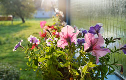 Petunia flowers in the country yard Royalty Free Stock Images