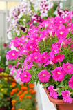 Petunia flowers in flower pot on balcony Stock Image