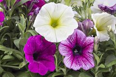 Petunia flowers in flower pot. Colorful blooming petunia flowers in flower pot, closeup, isolated on white background. Petunia hybrida in bloom, close up royalty free stock photos