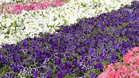 Petunia flowers stock video footage