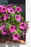 Petunia flowers in full bloom Royalty Free Stock Photos