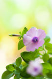 Petunia. Flowers in the garden Royalty Free Stock Image