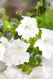 Petunia flowers Stock Photos