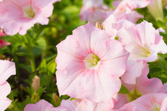 Petunia flowers Stock Photo