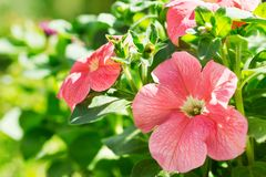 Petunia flowers in a garden stock photography